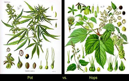 Pot vs. Hops